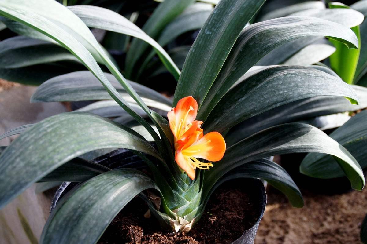 君子兰花卉栽培技术