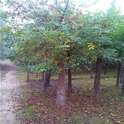 白蜡树图片